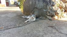 Ravska mačketina
